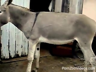 Excited donkey gets on back legs to fuck black mare outdoors